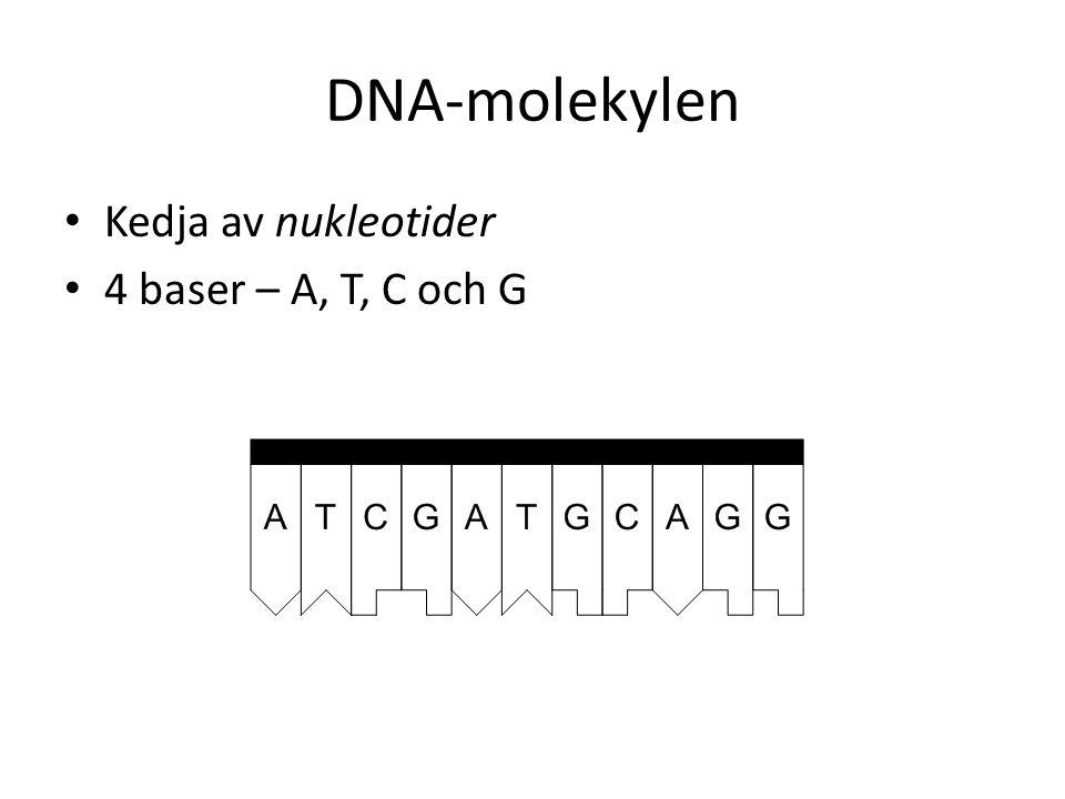 DNA-molekylen Kedja av nukleotider 4 baser – A, T, C och G