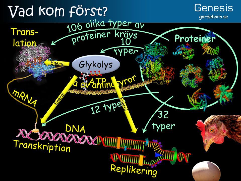 gardeborn.se 12 typer 32 typer Replikering Trans- lation mRNA Glykolys ATP Energi Transkription DNA Proteiner