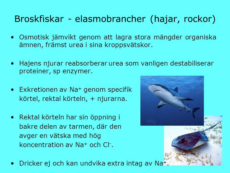 Broskfiskar - elasmobrancher (hajar, rockor) Osmotisk jämvikt genom att lagra stora mängder organiska ämnen, främst urea i sina kroppsvätskor. Hajens