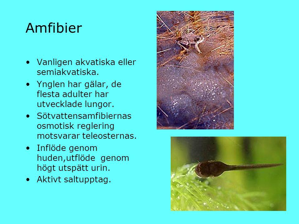 Amfibier Vanligen akvatiska eller semiakvatiska. Ynglen har gälar, de flesta adulter har utvecklade lungor. Sötvattensamfibiernas osmotisk reglering m