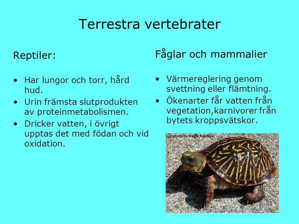 Terrestra vertebrater Reptiler: Har lungor och torr, hård hud. Urin främsta slutprodukten av proteinmetabolismen. Dricker vatten, i övrigt upptas det