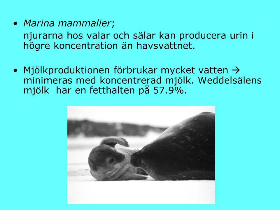 Marina mammalier; njurarna hos valar och sälar kan producera urin i högre koncentration än havsvattnet. Mjölkproduktionen förbrukar mycket vatten  mi