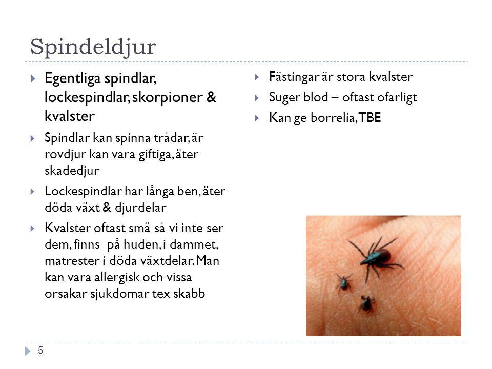 Spindeldjur 5  Egentliga spindlar, lockespindlar, skorpioner & kvalster  Spindlar kan spinna trådar, är rovdjur kan vara giftiga, äter skadedjur  L