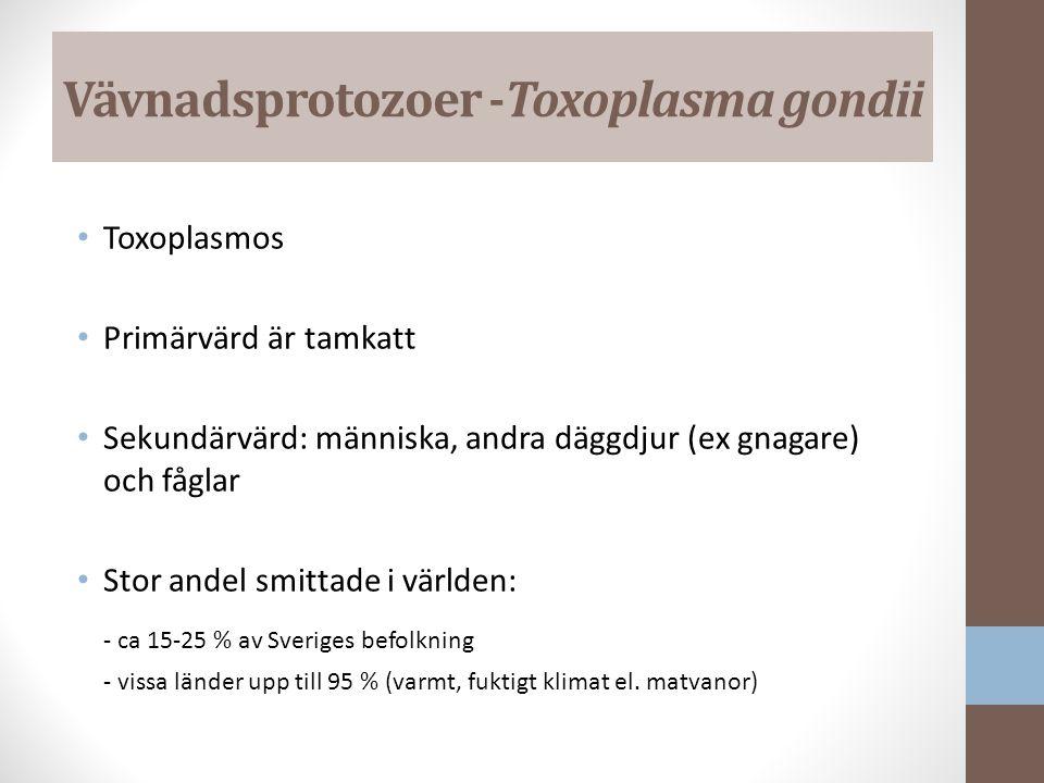Vävnadsprotozoer -Toxoplasma gondii Toxoplasmos Primärvärd är tamkatt Sekundärvärd: människa, andra däggdjur (ex gnagare) och fåglar Stor andel smittade i världen: - ca 15-25 % av Sveriges befolkning - vissa länder upp till 95 % (varmt, fuktigt klimat el.