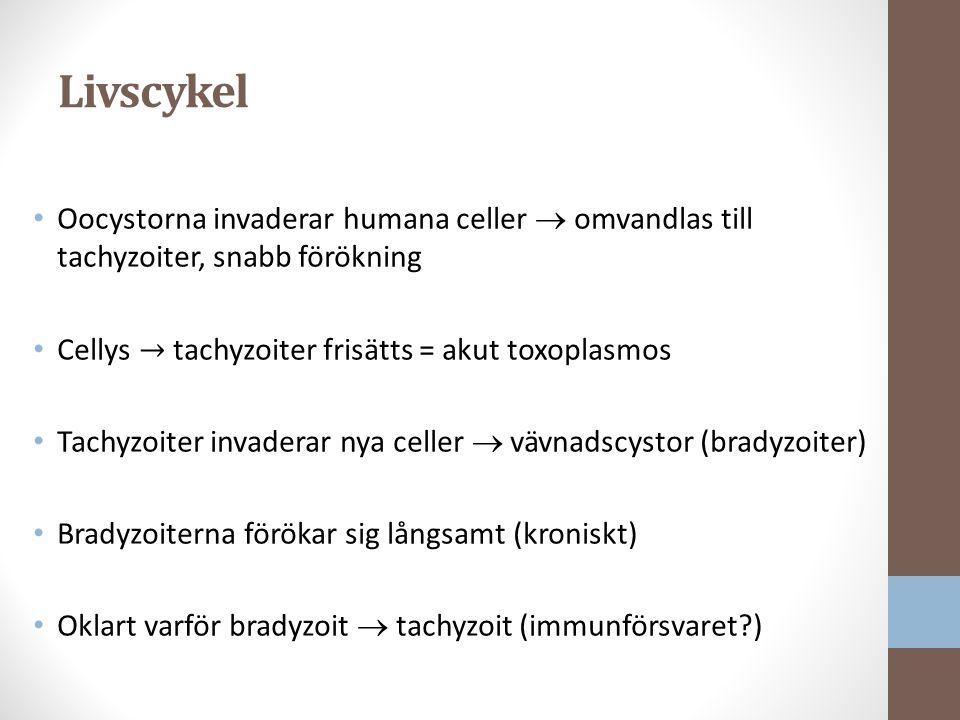 Livscykel Oocystorna invaderar humana celler  omvandlas till tachyzoiter, snabb förökning Cellys → tachyzoiter frisätts = akut toxoplasmos Tachyzoiter invaderar nya celler  vävnadscystor (bradyzoiter) Bradyzoiterna förökar sig långsamt (kroniskt) Oklart varför bradyzoit  tachyzoit (immunförsvaret?)