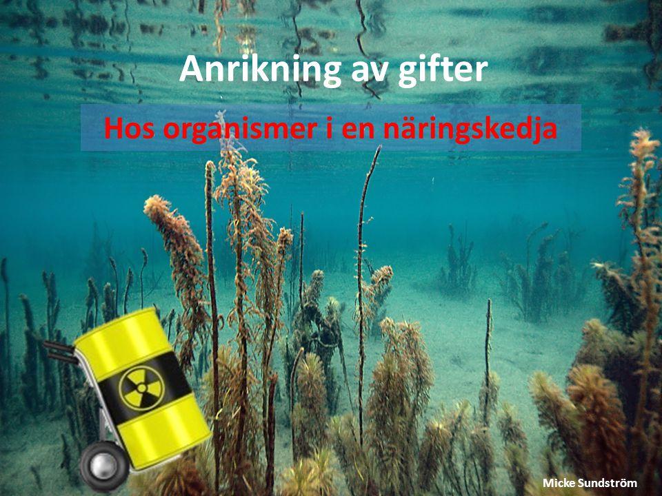 Anrikning av gifter Hos organismer i en näringskedja Micke Sundström