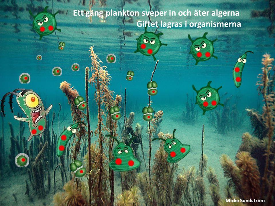 Ett gäng plankton sveper in och äter algerna Giftet lagras i organismerna Micke Sundström