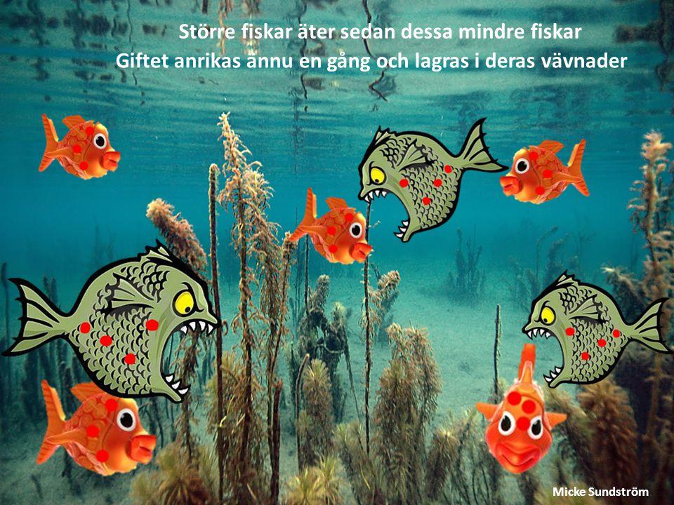 Större fiskar äter sedan dessa mindre fiskar Giftet anrikas ännu en gång och lagras i deras vävnader Micke Sundström
