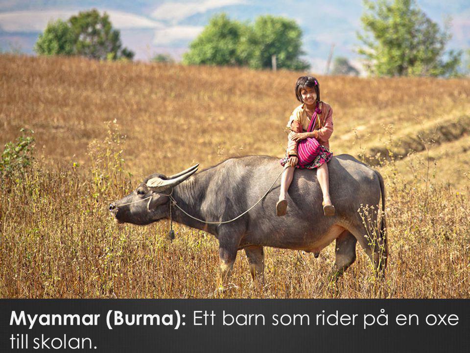 Myanmar (Burma): Ett barn som rider på en oxe till skolan.