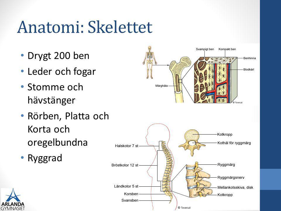 Anatomi: Skelettet Drygt 200 ben Leder och fogar Stomme och hävstänger Rörben, Platta och Korta och oregelbundna Ryggrad