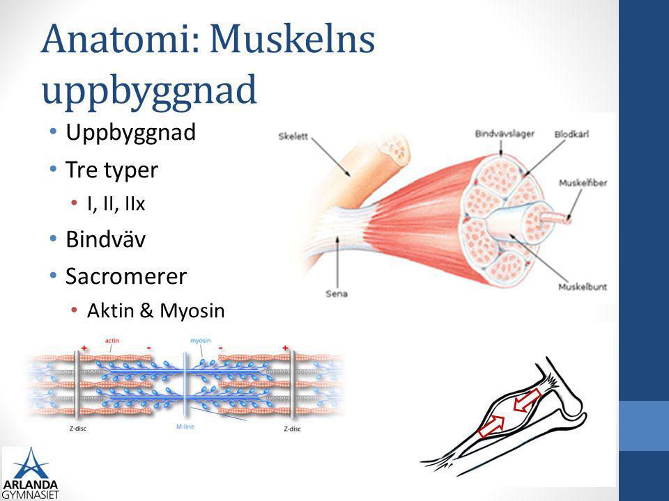 Anatomi: Muskelns uppbyggnad Uppbyggnad Tre typer I, II, IIx Bindväv Sacromerer Aktin & Myosin