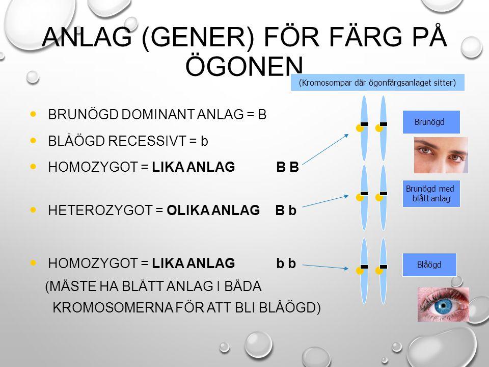 ANLAG (GENER) FÖR FÄRG PÅ ÖGONEN BRUNÖGD DOMINANT ANLAG = B BLÅÖGD RECESSIVT = b HOMOZYGOT = LIKA ANLAG B B HETEROZYGOT = OLIKA ANLAG B b HOMOZYGOT =