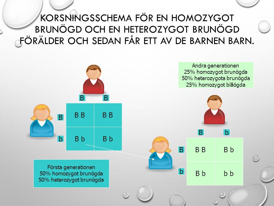 KORSNINGSSCHEMA FÖR EN HOMOZYGOT BRUNÖGD OCH EN HETEROZYGOT BRUNÖGD FÖRÄLDER OCH SEDAN FÅR ETT AV DE BARNEN BARN. B b B B b b B BB b B b Bb Första gen