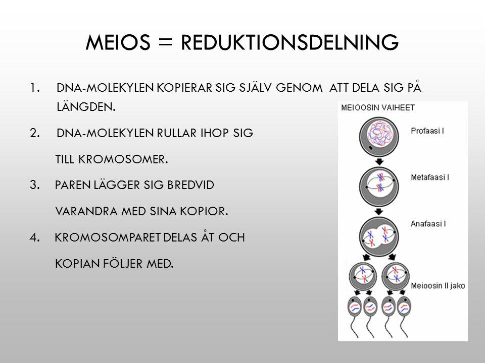 MEIOS = REDUKTIONSDELNING 1.DNA-MOLEKYLEN KOPIERAR SIG SJÄLV GENOM ATT DELA SIG PÅ LÄNGDEN. 2.DNA-MOLEKYLEN RULLAR IHOP SIG TILL KROMOSOMER. 3. PAREN