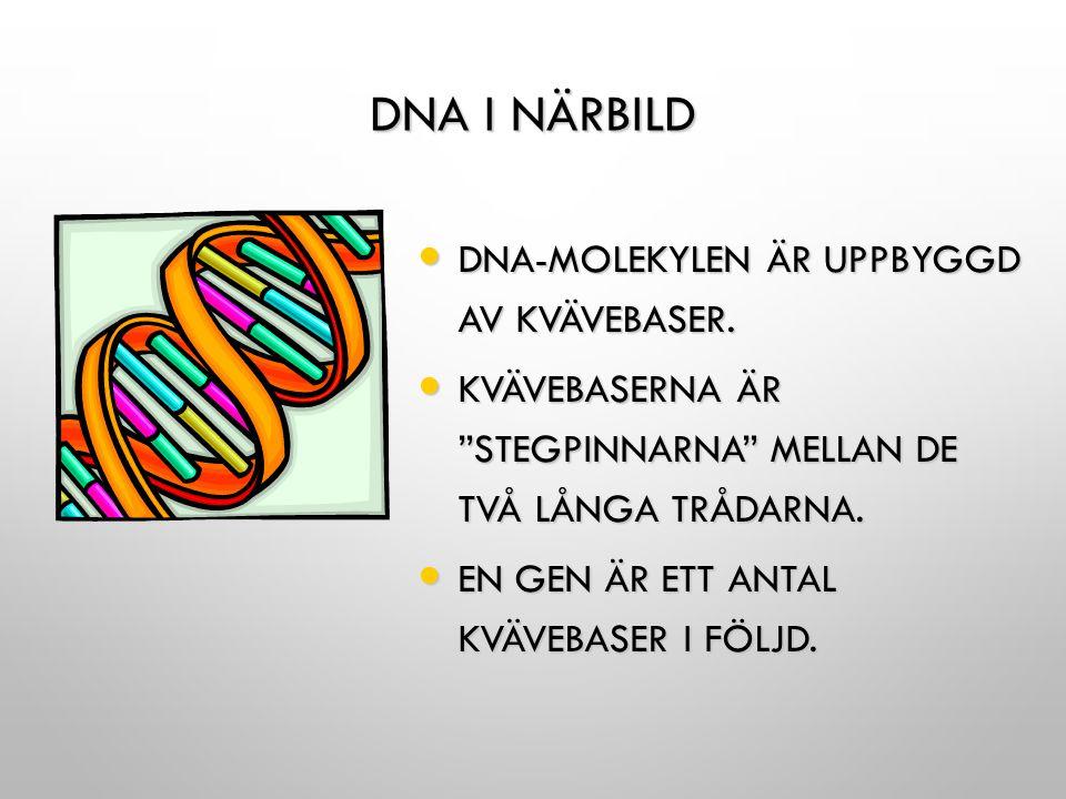 """DNA I NÄRBILD DNA-MOLEKYLEN ÄR UPPBYGGD AV KVÄVEBASER. DNA-MOLEKYLEN ÄR UPPBYGGD AV KVÄVEBASER. KVÄVEBASERNA ÄR """"STEGPINNARNA"""" MELLAN DE TVÅ LÅNGA TRÅ"""