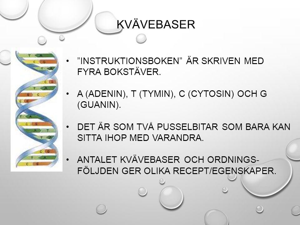 2.DNA-MOLEKYLEN RULLAR IHOP SIG TILL KROMOSOMER.