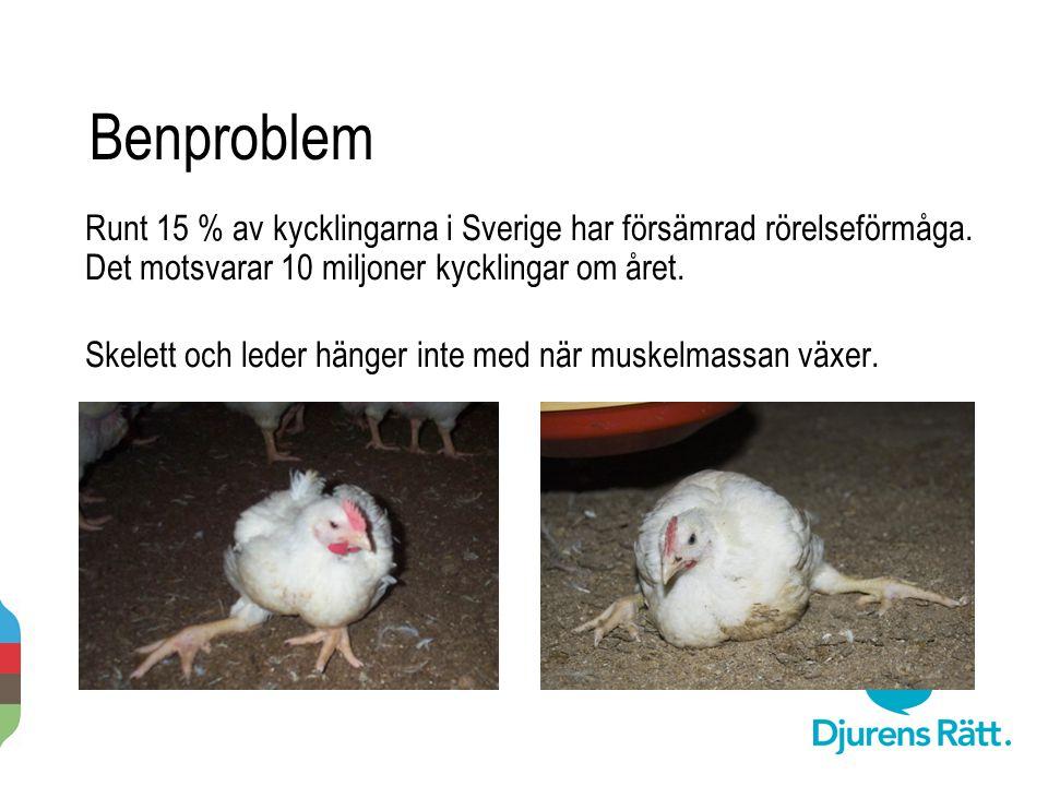 Benproblem Runt 15 % av kycklingarna i Sverige har försämrad rörelseförmåga. Det motsvarar 10 miljoner kycklingar om året. Skelett och leder hänger in