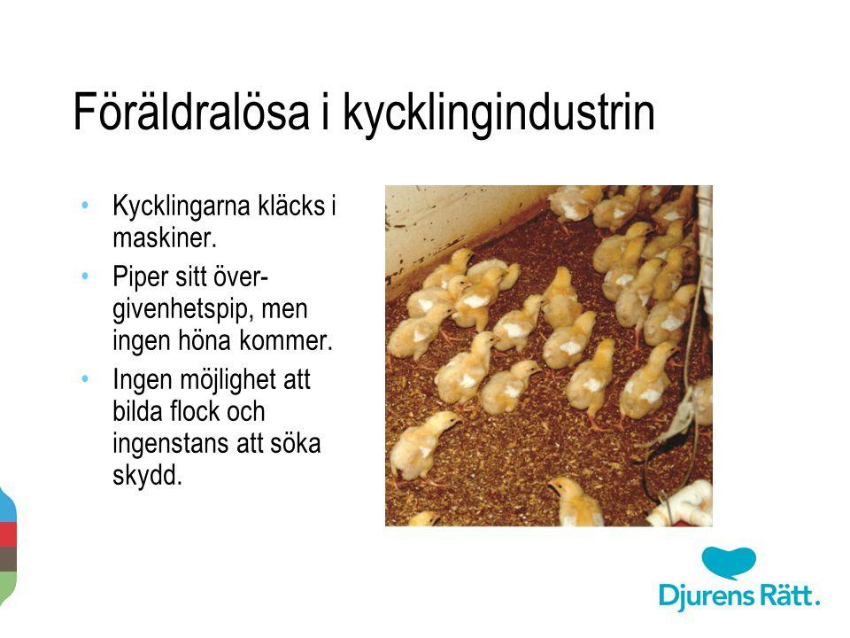 Föräldralösa i kycklingindustrin Kycklingarna kläcks i maskiner. Piper sitt över- givenhetspip, men ingen höna kommer. Ingen möjlighet att bilda flock