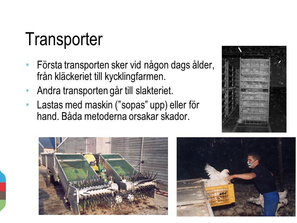 Transporter 2014-11-20 19 Första transporten sker vid någon dags ålder, från kläckeriet till kycklingfarmen. Andra transporten går till slakteriet. La