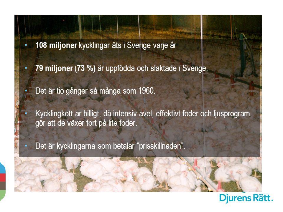 2014-11-20 108 miljoner kycklingar äts i Sverige varje år 79 miljoner ( 73 %) är uppfödda och slaktade i Sverige. Det är tio gånger så många som 1960.