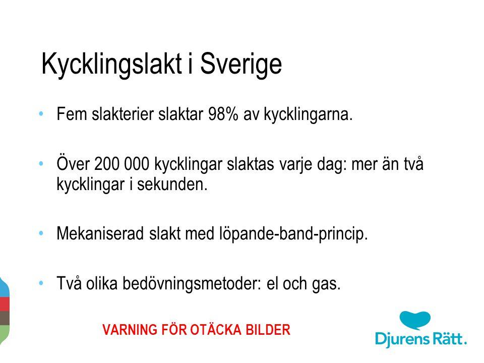 Kycklingslakt i Sverige Fem slakterier slaktar 98% av kycklingarna. Över 200 000 kycklingar slaktas varje dag: mer än två kycklingar i sekunden. Mekan