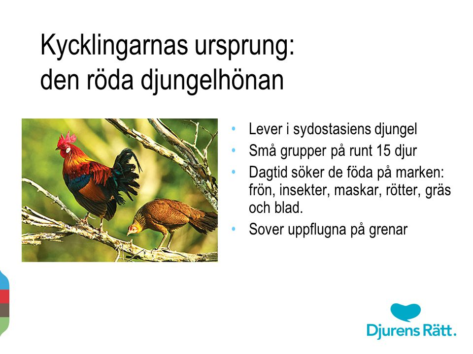 Kycklingarnas ursprung: den röda djungelhönan Lever i sydostasiens djungel Små grupper på runt 15 djur Dagtid söker de föda på marken: frön, insekter,
