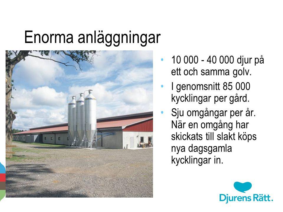 Enorma anläggningar 2014-11-20 Per-Anders Svärd · Djurens rätt · www.djurensratt.se 5 10 000 - 40 000 djur på ett och samma golv. I genomsnitt 85 000