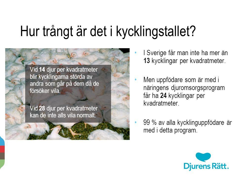 I Sverige får man inte ha mer än 13 kycklingar per kvadratmeter. Men uppfödare som är med i näringens djuromsorgsprogram får ha 24 kycklingar per kvad
