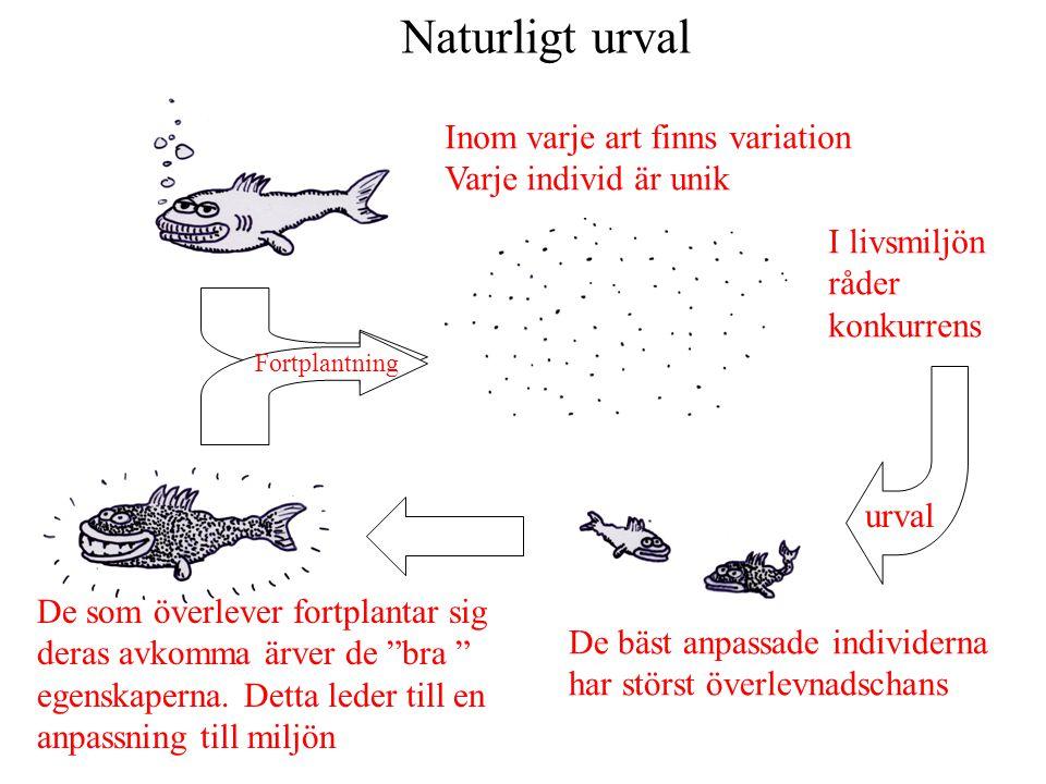 Naturligt urval Inom varje art finns variation Varje individ är unik I livsmiljön råder konkurrens urval De bäst anpassade individerna har störst över