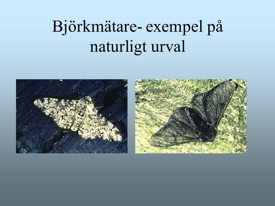 Björkmätare- exempel på naturligt urval
