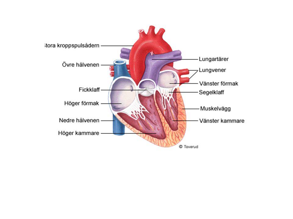 Artärer och vener Artärer – blodkärl som leder blod från hjärtat (kallas även pulsådror) Kroppens stora pulsåder heter aorta Artärväggarna är mycket kraftiga för att klara ett högt tryck.