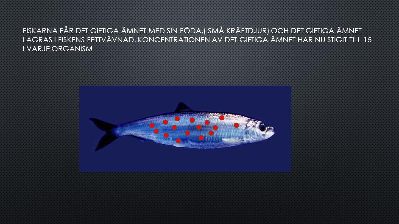 FISKARNA FÅR DET GIFTIGA ÄMNET MED SIN FÖDA,( SMÅ KRÄFTDJUR) OCH DET GIFTIGA ÄMNET LAGRAS I FISKENS FETTVÄVNAD. KONCENTRATIONEN AV DET GIFTIGA ÄMNET H