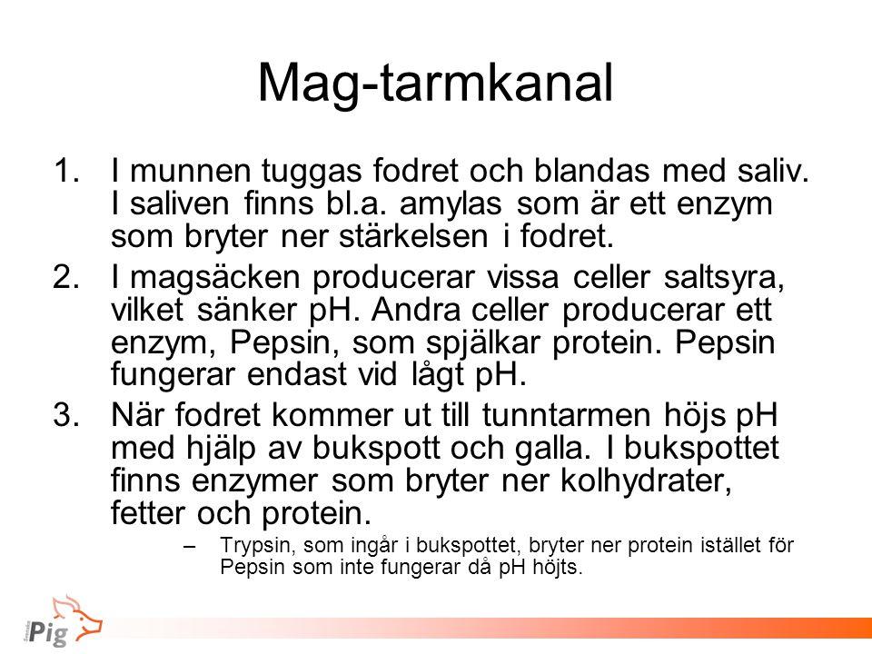 Mag-tarmkanal 1.I munnen tuggas fodret och blandas med saliv. I saliven finns bl.a. amylas som är ett enzym som bryter ner stärkelsen i fodret. 2.I ma