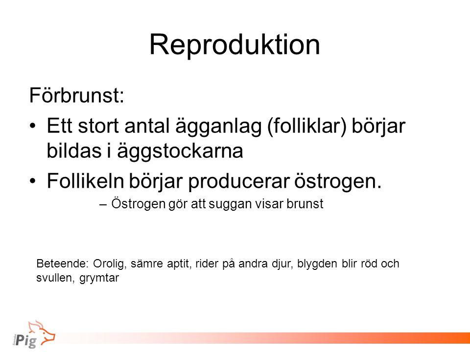 Reproduktion Förbrunst: Ett stort antal ägganlag (folliklar) börjar bildas i äggstockarna Follikeln börjar producerar östrogen. –Östrogen gör att sugg