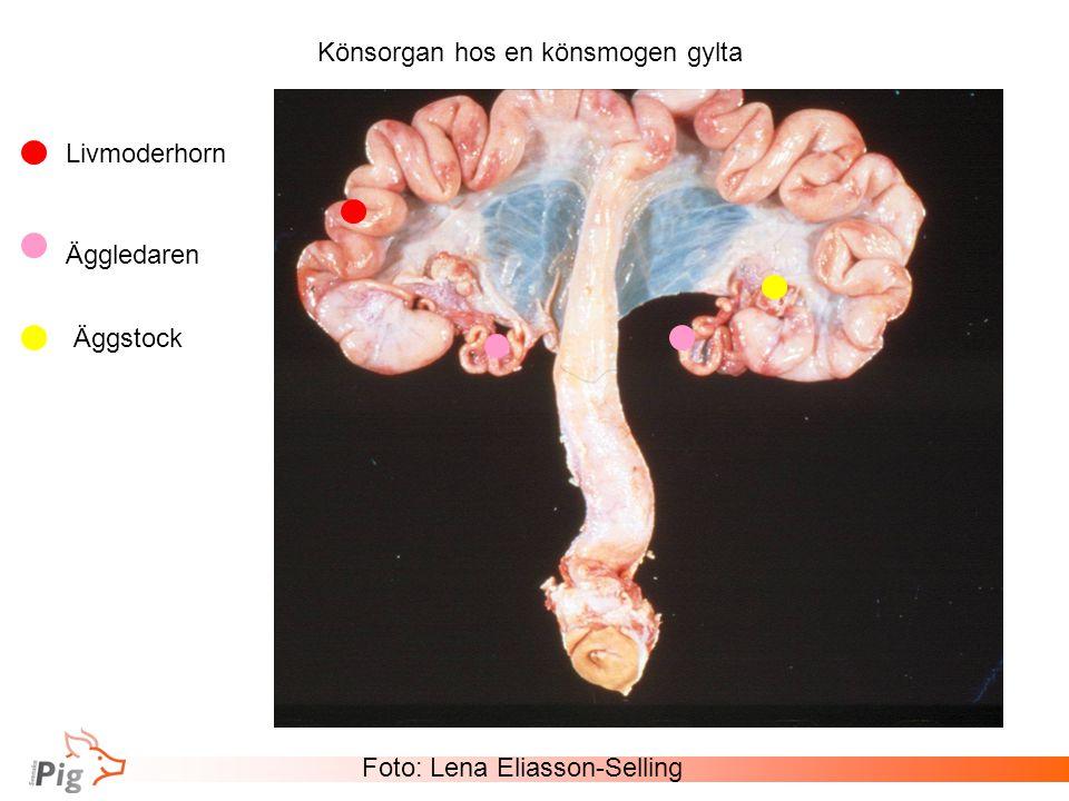 Könsorgan hos en könsmogen gylta Foto: Lena Eliasson-Selling Livmoderhorn Äggledaren Äggstock