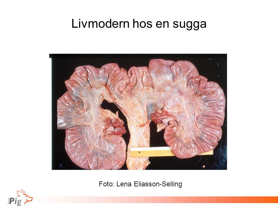 Livmodern hos en sugga Foto: Lena Eliasson-Selling