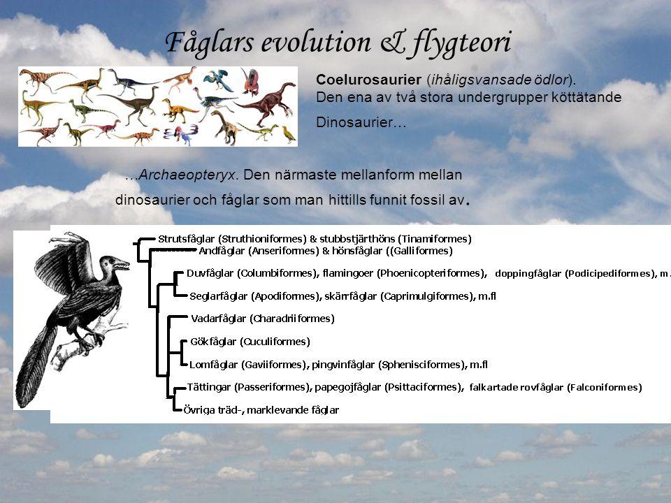 Fåglars evolution & flygteori Coelurosaurier (ihåligsvansade ödlor). Den ena av två stora undergrupper köttätande Dinosaurier… …Archaeopteryx. Den när