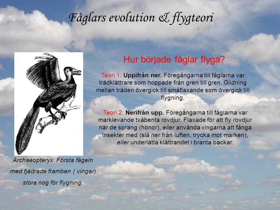Fåglars evolution & flygteori Archaeopteryx. Första fågeln med fjädrade framben ( vingar) stora nog för flygning. Hur började fåglar flyga? Teori 1: U