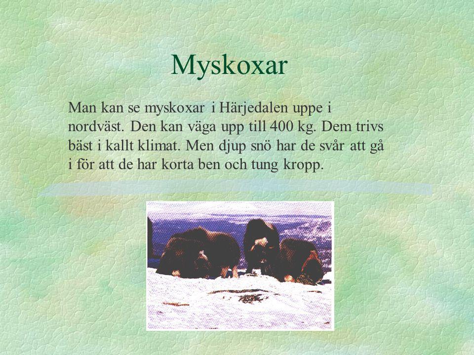 Myskoxar Man kan se myskoxar i Härjedalen uppe i nordväst. Den kan väga upp till 400 kg. Dem trivs bäst i kallt klimat. Men djup snö har de svår att g