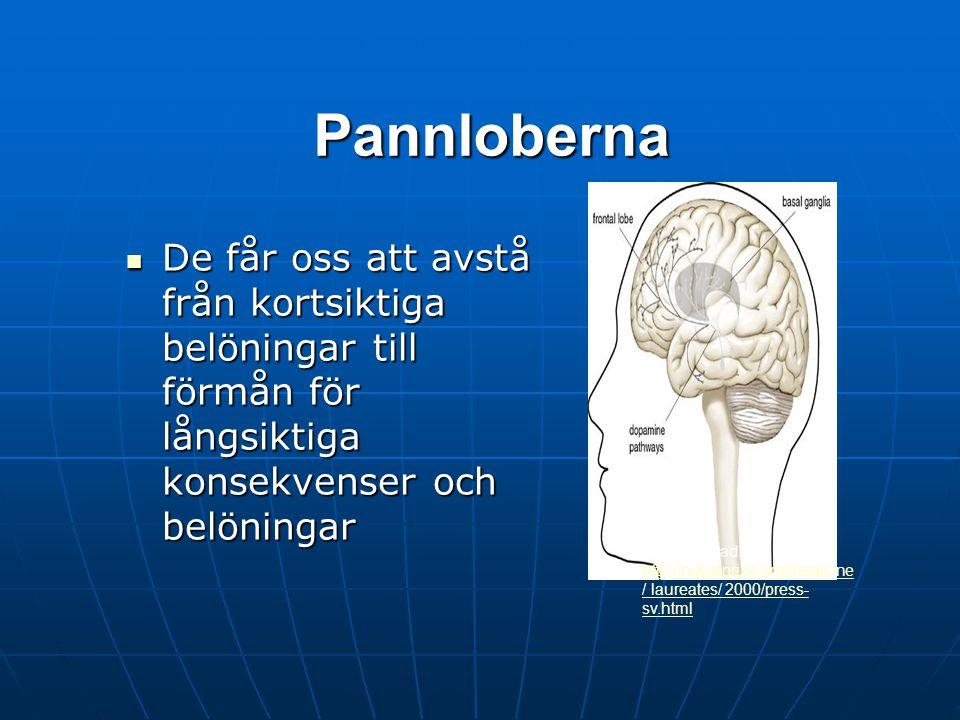 Pannloberna Pannloberna är evolutionärt sett den senast utvecklade delen av hjärnan och hantera våra högre tankeförmågor Pannloberna är evolutionärt s