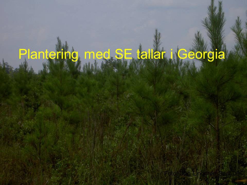Plantering med SE tallar i Georgia Foto: Dag Lindgren Sept 06