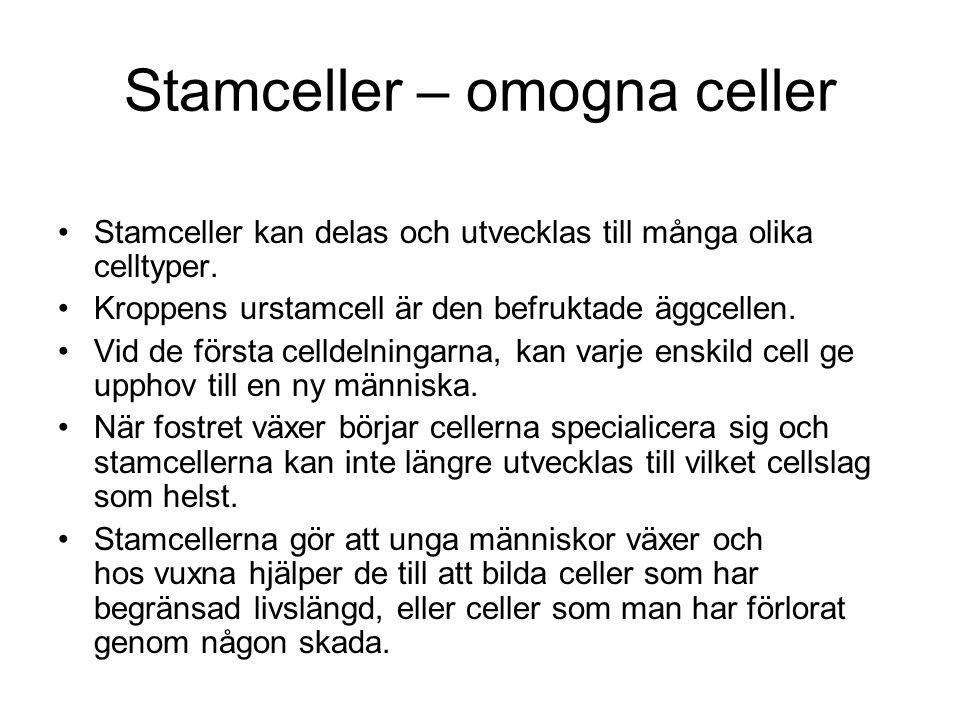 Stamceller – omogna celler Stamceller kan delas och utvecklas till många olika celltyper. Kroppens urstamcell är den befruktade äggcellen. Vid de förs