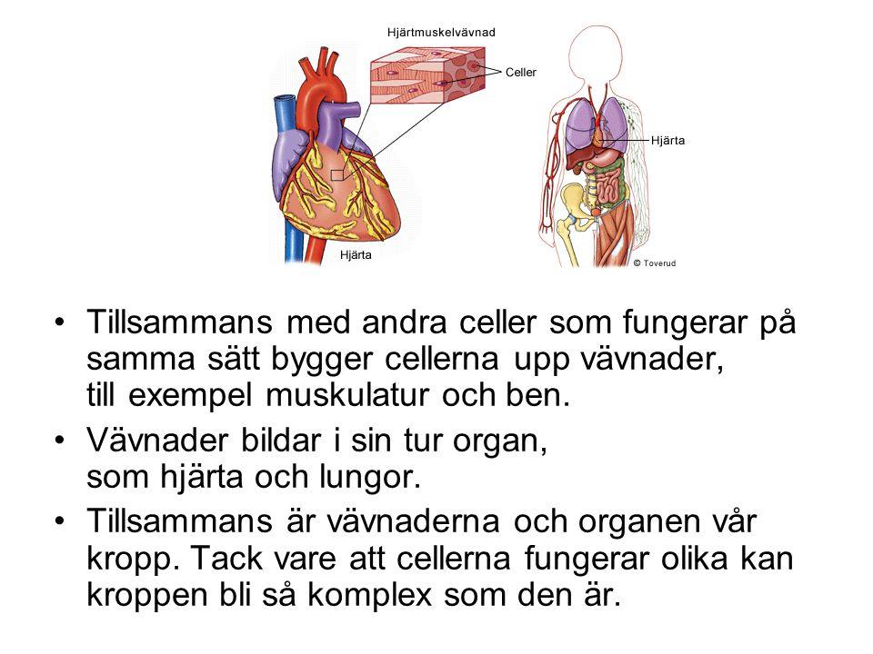 Tillsammans med andra celler som fungerar på samma sätt bygger cellerna upp vävnader, till exempel muskulatur och ben. Vävnader bildar i sin tur organ