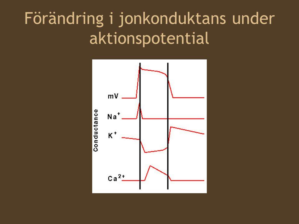 Klass I Blockerar natriumkanaler –Genom att binda  -subenheten Detta inhiberar aktionspotentialens propagering i många exciterbara celler.