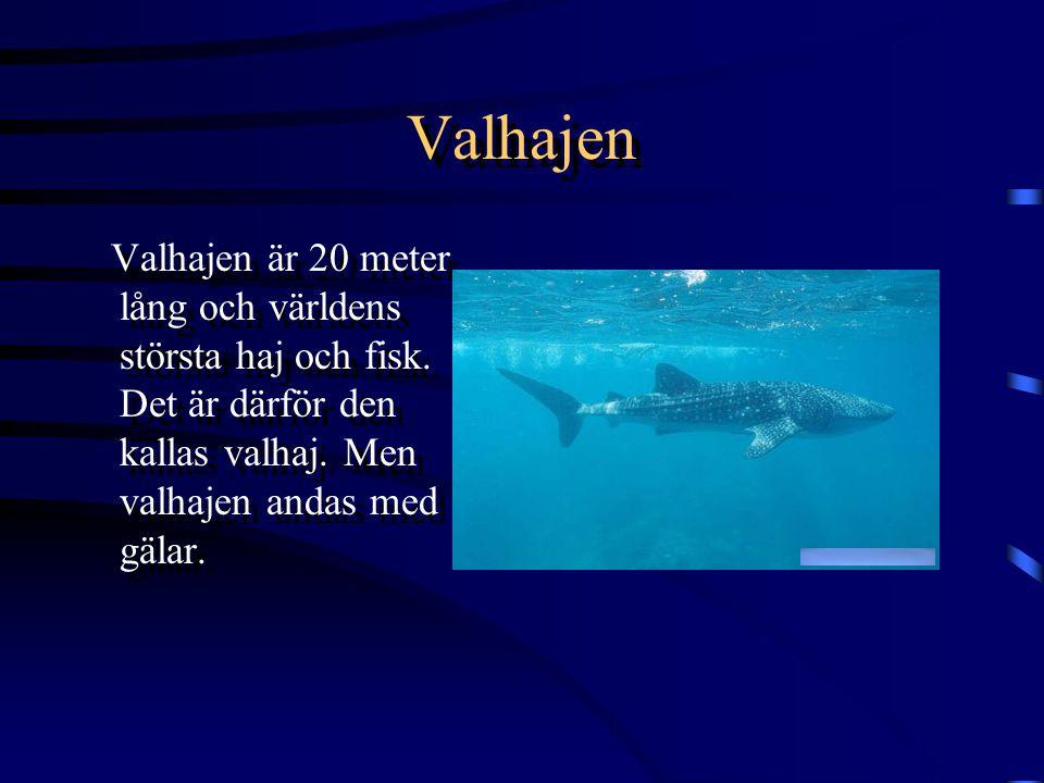 Valhajen Valhajen är 20 meter lång och världens största haj och fisk.
