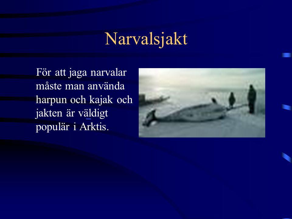 Narvalen Narvalen är 6 meter lång och lever i nordatlanten(Arktis). Den har bara 2 tänder och då ingår det långa, skruvade spjutet som sitter på nosen