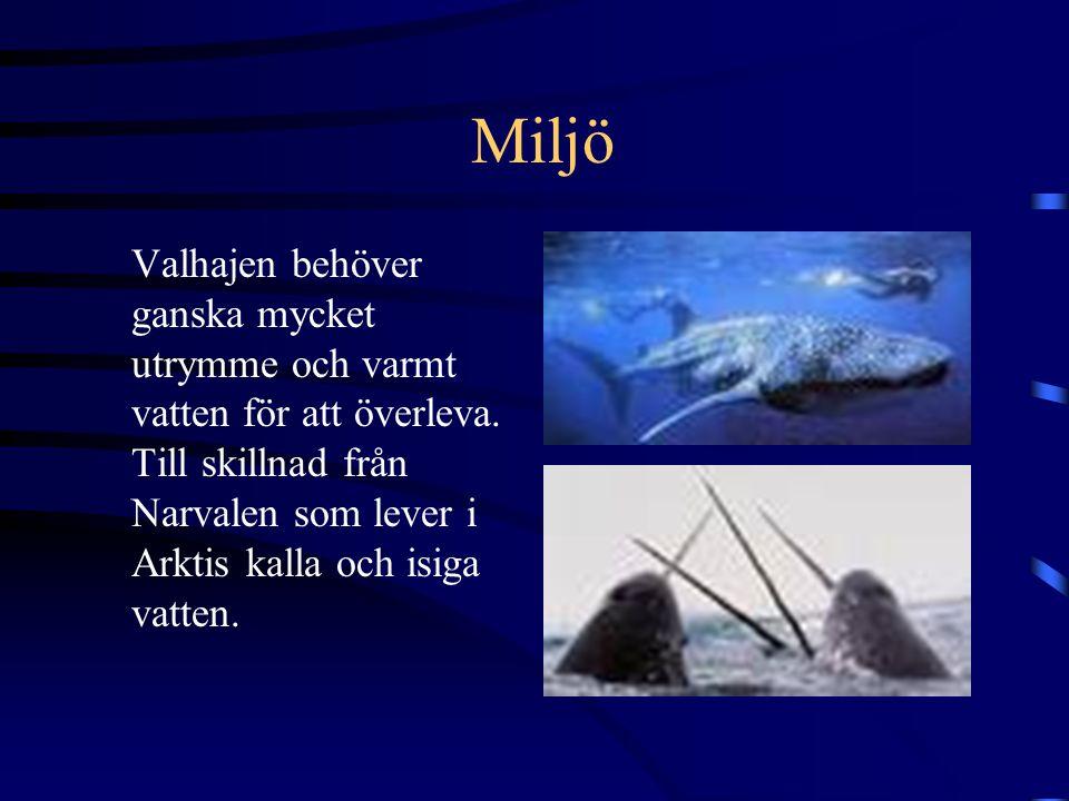 Narvalshornsförsäljning Fram till 1600-talet sålde man narvalshorn till Europa, men dom ljög och sa att det var enhörningshorn.