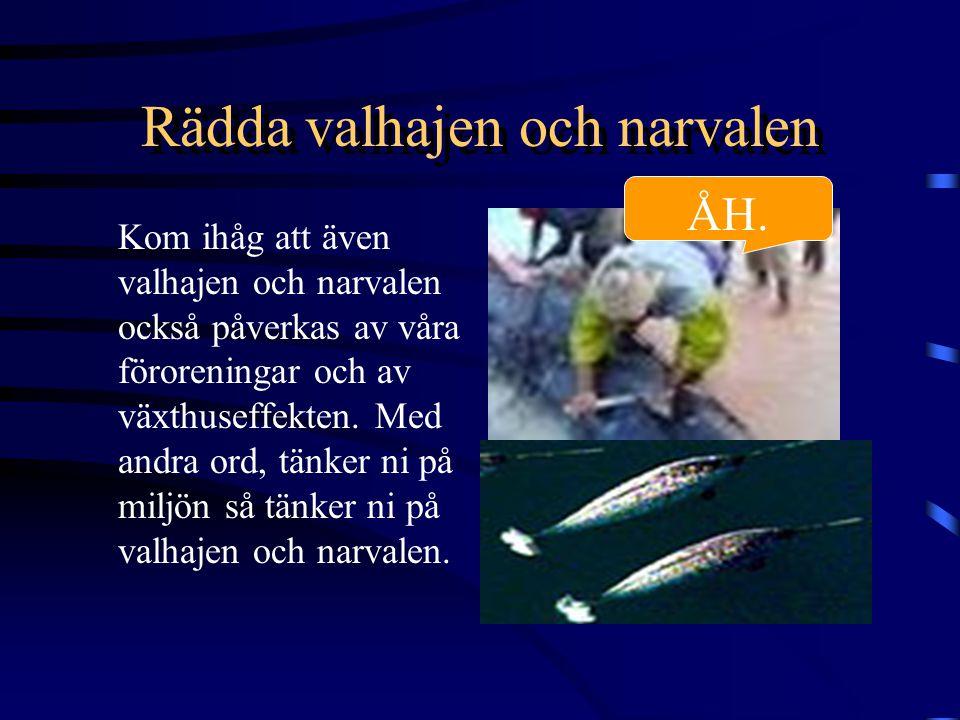 Rädda valhajen och narvalen Kom ihåg att även valhajen och narvalen också påverkas av våra föroreningar och av växthuseffekten.