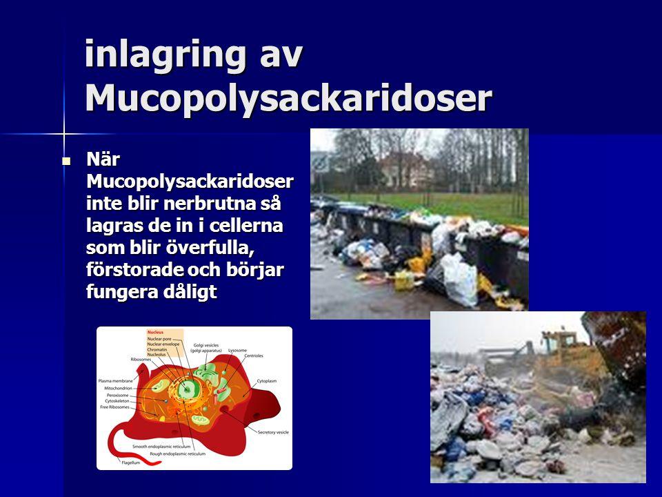 inlagring av Mucopolysackaridoser När Mucopolysackaridoser inte blir nerbrutna så lagras de in i cellerna som blir överfulla, förstorade och börjar fungera dåligt När Mucopolysackaridoser inte blir nerbrutna så lagras de in i cellerna som blir överfulla, förstorade och börjar fungera dåligt