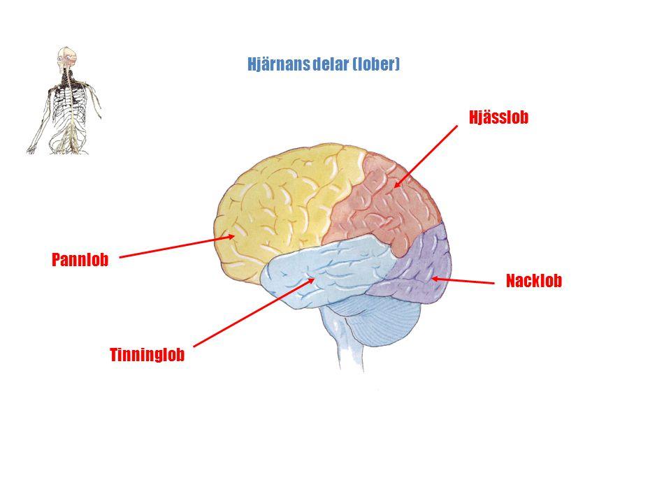 Kroppens Nervsystem Micke Sundström © Hjärnans delar (lober) Pannlob Hjässlob Nacklob Tinninglob